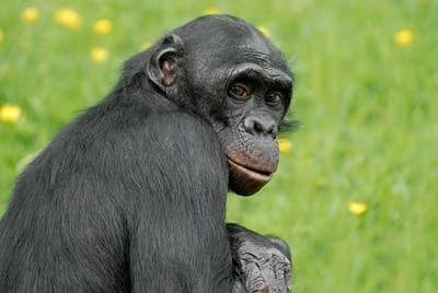 Chimpanzé adulte